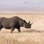 Κένυα: Οκτώ μαύροι ρινόκεροι πέθαναν κατά τη μεταφορά τους σε καταφύγιο