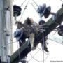 Φωτογραφίες: Οι αετοί πεθαίνουν... στα ηλεκτροφόρα καλώδια